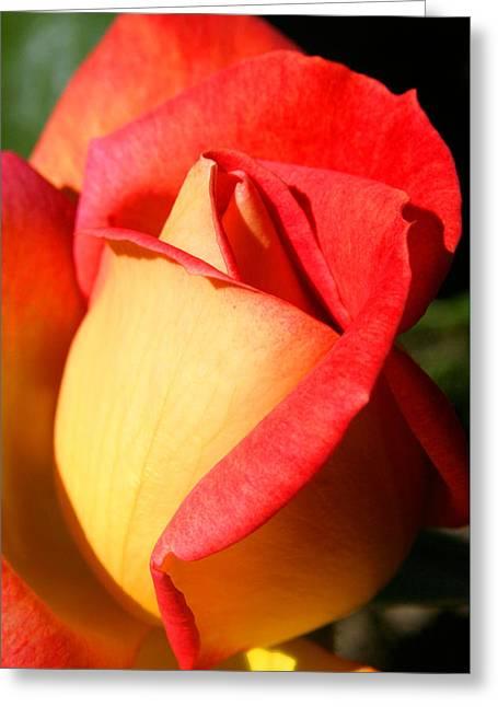 Orange Rosebud Greeting Card by Ralph A  Ledergerber-Photography