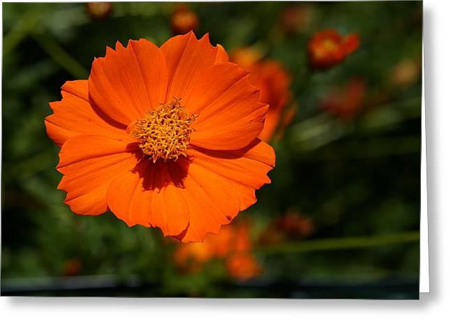 Orange Sulfur Cosmos Flower Greeting Card