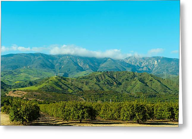 Orange Tree Grove, Santa Paula, Ventura Greeting Card by Panoramic Images