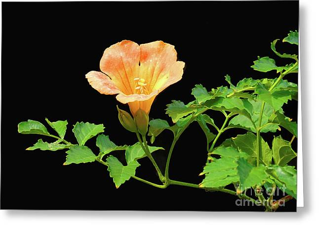 Orange Trumpet Flower Greeting Card by Susan Lafleur