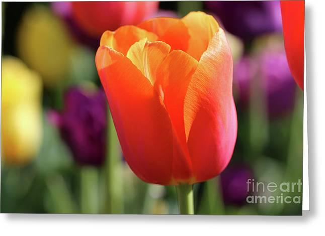 Orange Tulip In Franklin Park Greeting Card