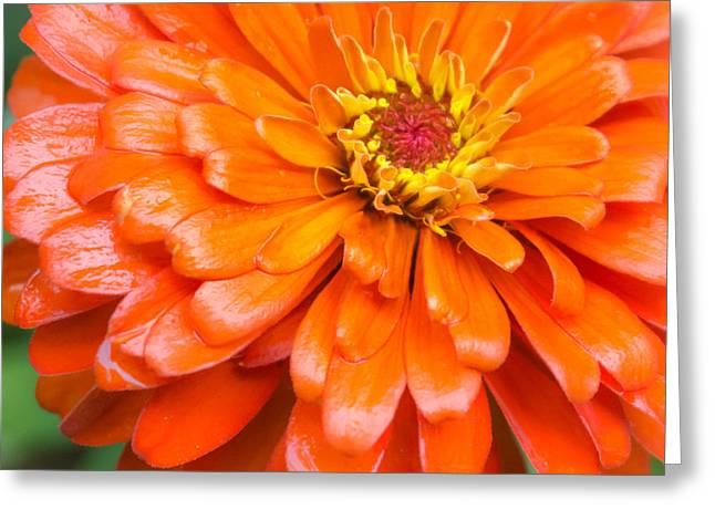 Orange Zinnia After A Rain Greeting Card by Jim Hughes