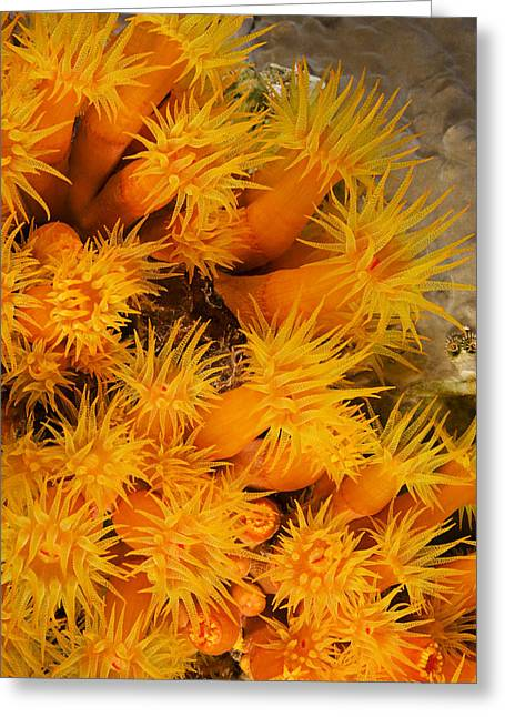 Orangecup Coral Greeting Card by Dave Fleetham - Printscapes