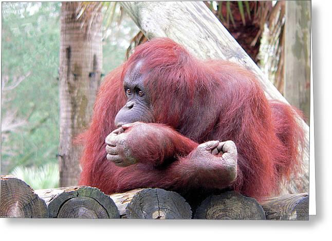 Orangutang Contemplating Greeting Card