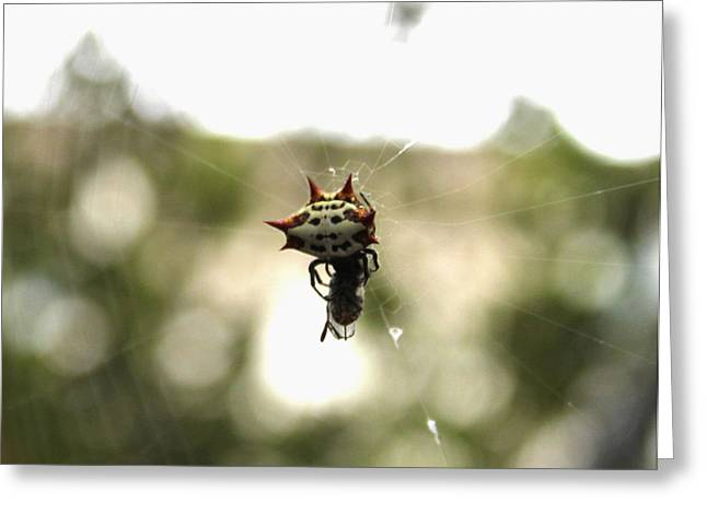 Orb Weaver Spider2 Greeting Card