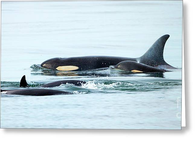 Orca Family Photo Greeting Card by Mike Dawson