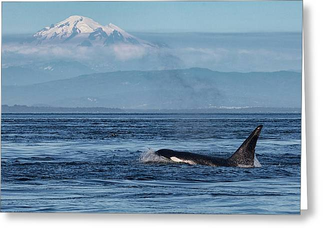 Orca Male With Mt Baker Greeting Card