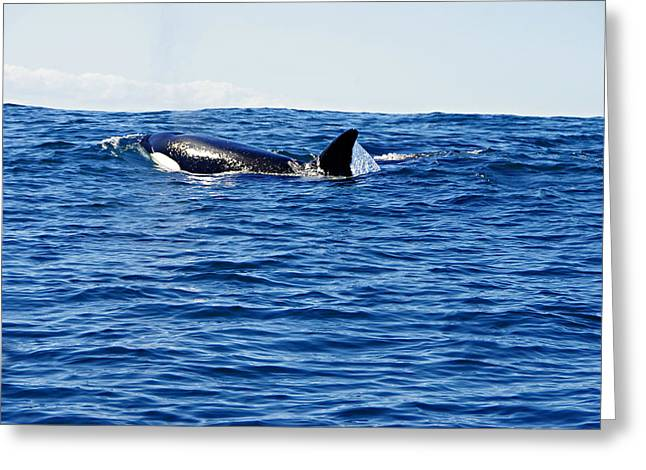 Orca Greeting Card by Marilyn Wilson