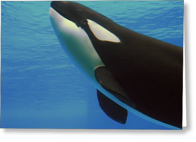 Greeting Card featuring the photograph Orca by Meagan  Visser