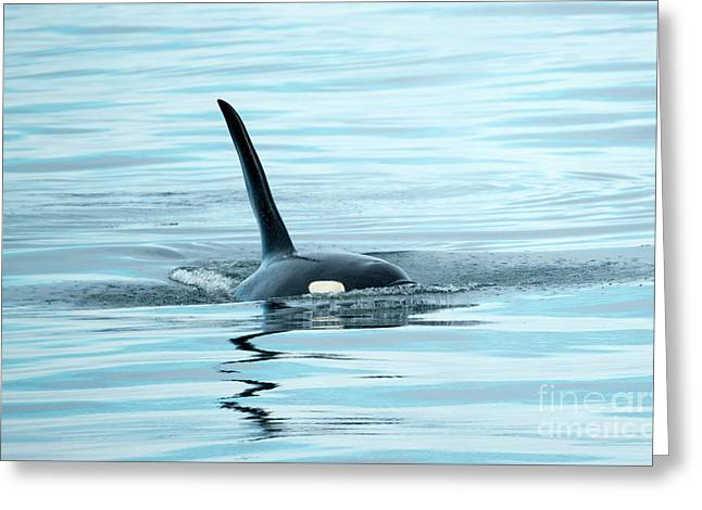 Orca Reflections Greeting Card by Mike Dawson