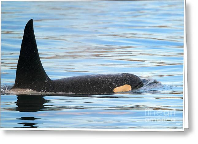 Orca Surfaces Greeting Card