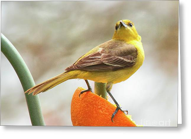 Greeting Card featuring the photograph Orchard Oriole by Debbie Stahre