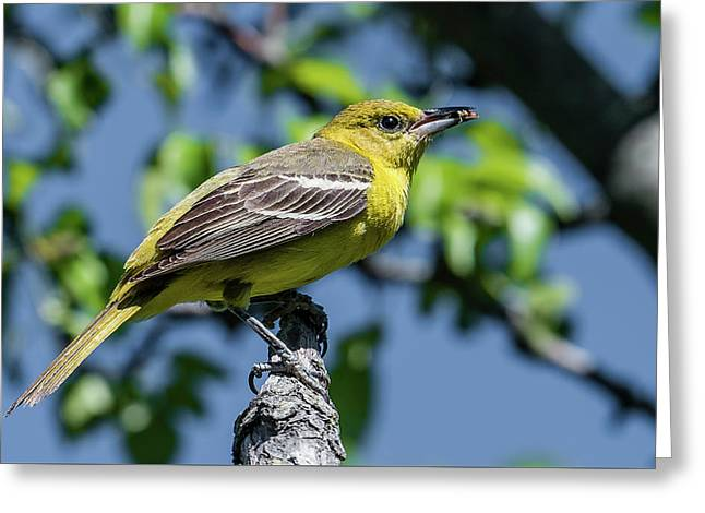 Orchard Oriole With Insect Greeting Card by Morris Finkelstein