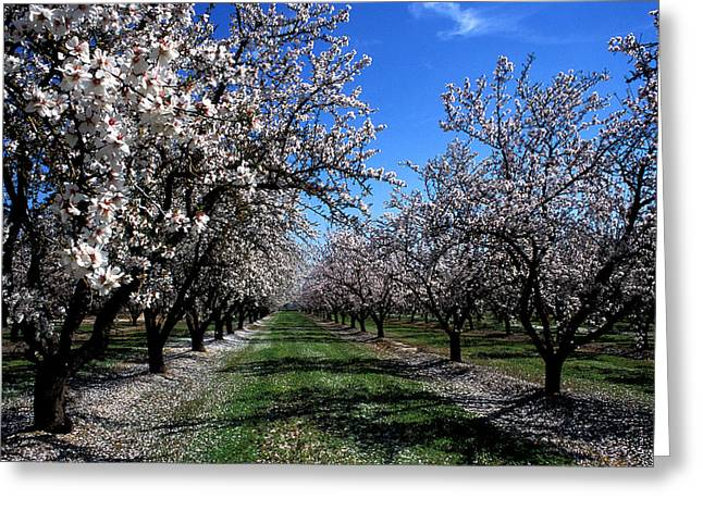 Orchard Trees Blossoming Greeting Card by Kathy Yates