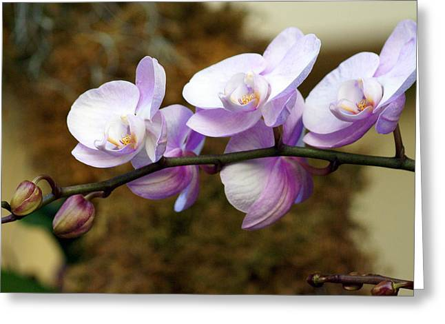 Orchid 18 Greeting Card by Marty Koch