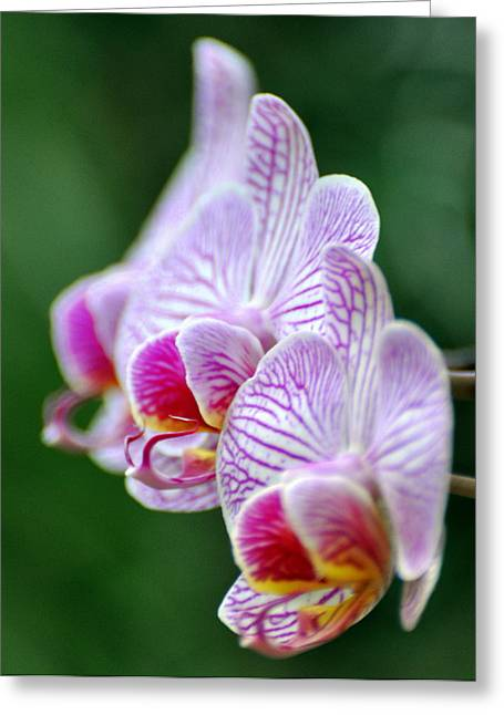 Orchid 30 Greeting Card by Marty Koch