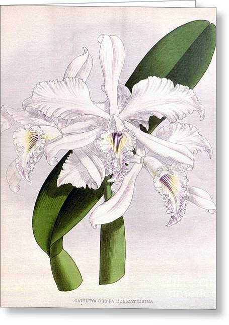 Orchid, C. Crispa Delicatissima, 1891 Greeting Card by Biodiversity Heritage Library