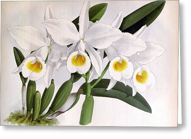 Orchid, C. Eldorado Virginalis, 1891 Greeting Card by Biodiversity Heritage Library