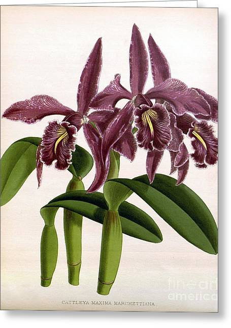 Orchid, C. Maxima Marchettiana, 1891 Greeting Card by Biodiversity Heritage Library