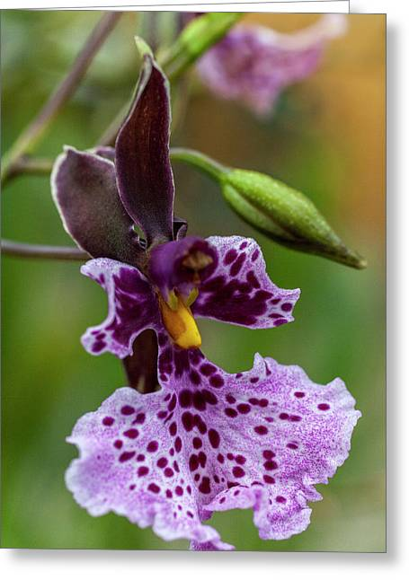 Orchid - Caucaea Rhodosticta Greeting Card
