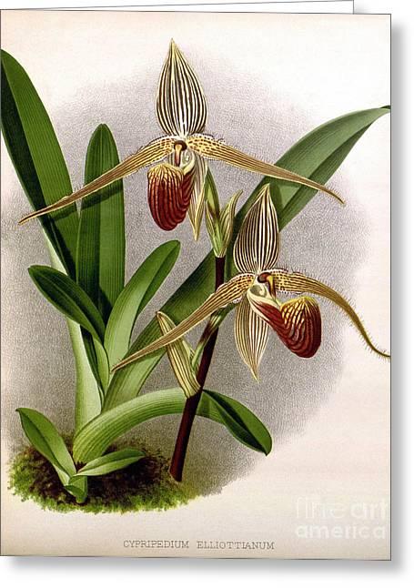 Orchid, Cypripedium Elliottianum, 1891 Greeting Card by Biodiversity Heritage Library
