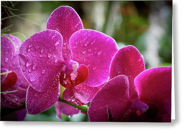 Orchid Dew Greeting Card