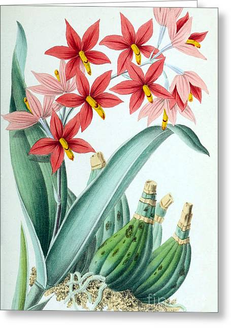Orchid, E. Vitellinum Majus, 1880 Greeting Card by Biodiversity Heritage Library
