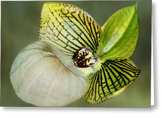 Orchid - Lady Slipper Greeting Card