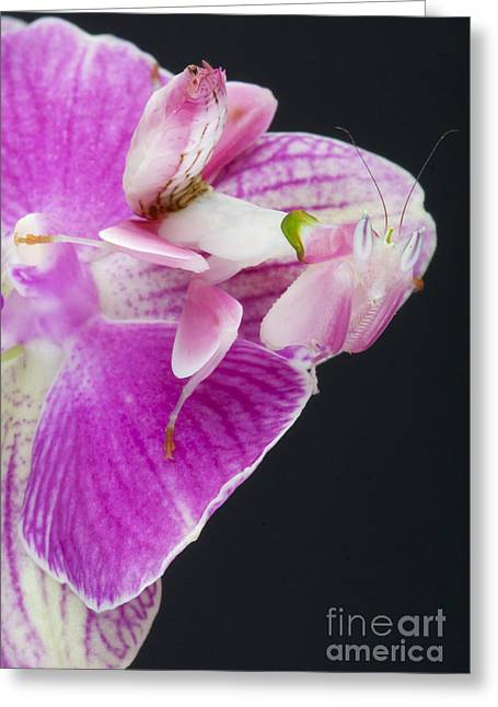 Orchid Mantis Greeting Card by Reptiles4all