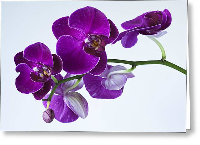 Orchid No. 2 Greeting Card by Harry H Hicklin