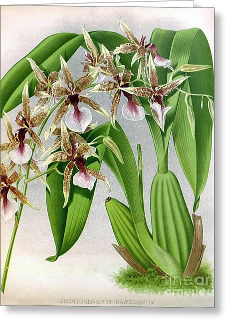 Orchid, Odontoglossum Hastilabiu, 1891 Greeting Card by Biodiversity Heritage Library