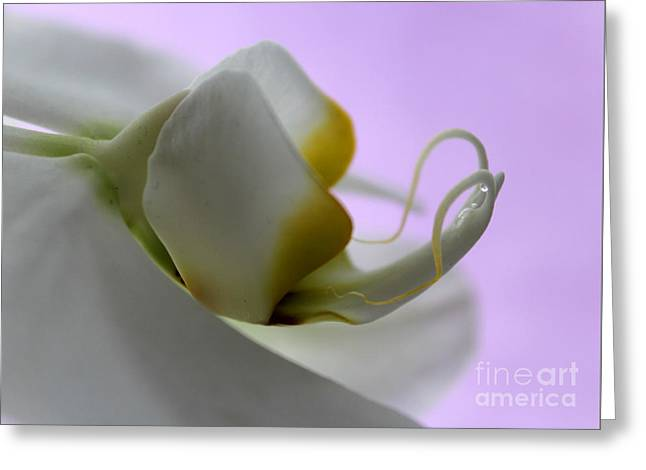Orchid Of Calm Greeting Card by Krissy Katsimbras