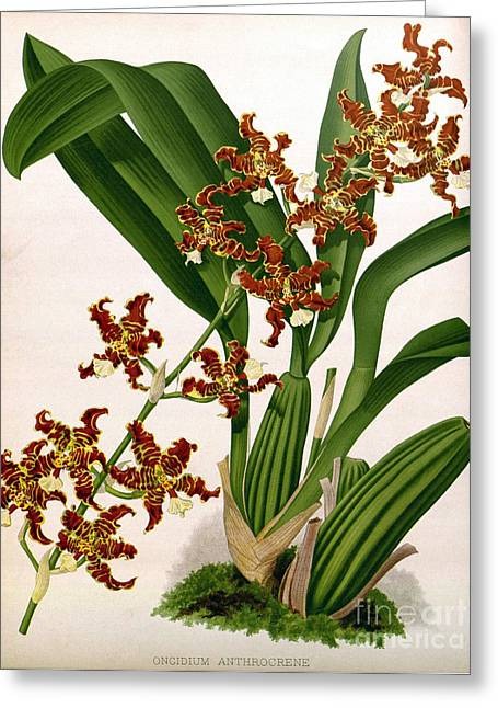 Orchid, Oncidium Anthrocrene,1891 Greeting Card by Biodiversity Heritage Library