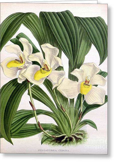 Orchid, Pescatorea Cerina, 1891 Greeting Card by Biodiversity Heritage Library