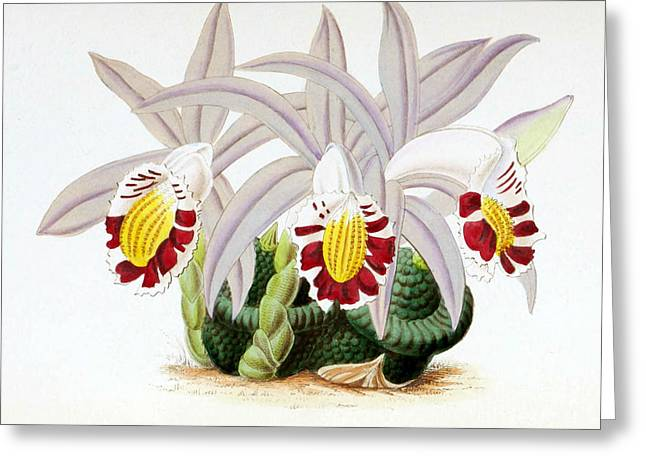 Orchid, Pleione Lagenaria, 1880 Greeting Card by Biodiversity Heritage Library