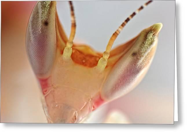 Orchid Praying Mantis Greeting Card by Joerg Lingnau