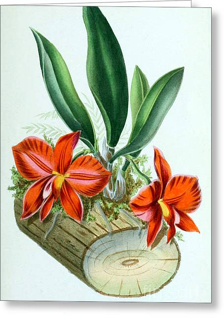 Orchid, Sophronitis Grandiflora, 1880 Greeting Card by Biodiversity Heritage Library