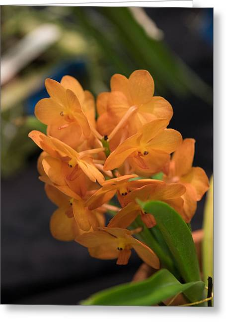 Orchid Yip Sum Wah Orange Greeting Card by JG Thompson