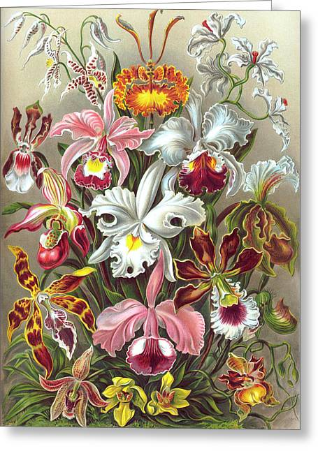 Ernst Haeckel Greeting Cards - Orchidae Orchids Greeting Card by Ernst Haeckel