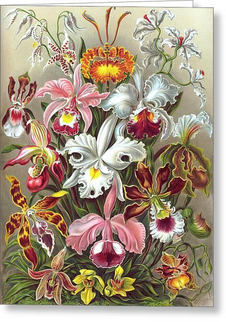 Kunstformen Der Natur Greeting Cards - Orchidae Orchids Greeting Card by Ernst Haeckel