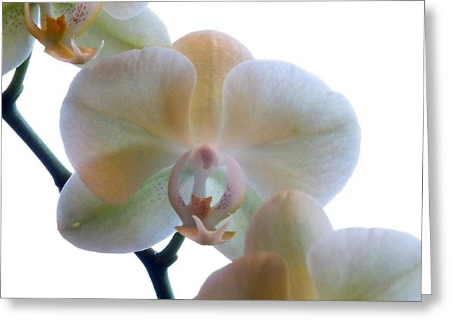 Orchids 3 Greeting Card by Mike McGlothlen