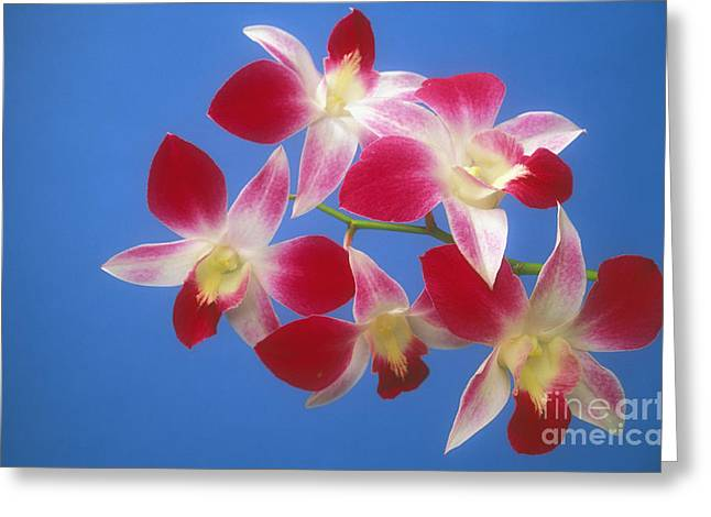 Orchids Greeting Card by Kyle Rothenborg - Printscapes