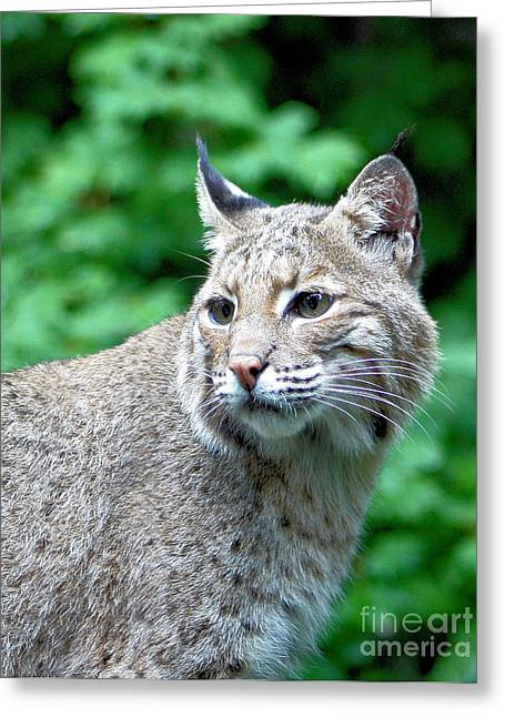 Bobcats Greeting Cards - Oregon Bobcat Greeting Card by Nick Gustafson