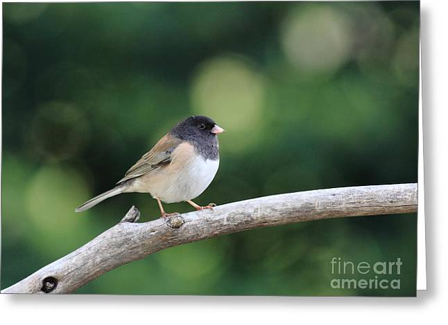 Oregon Junco Greeting Card by Wingsdomain Art and Photography