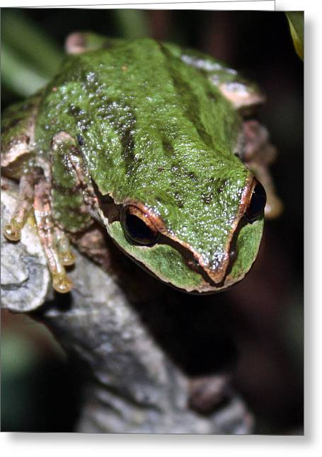 Oregon Tree Frog Greeting Card by Nick Gustafson