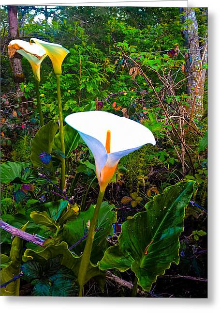 Oregon Wild Calla Lilies Greeting Card