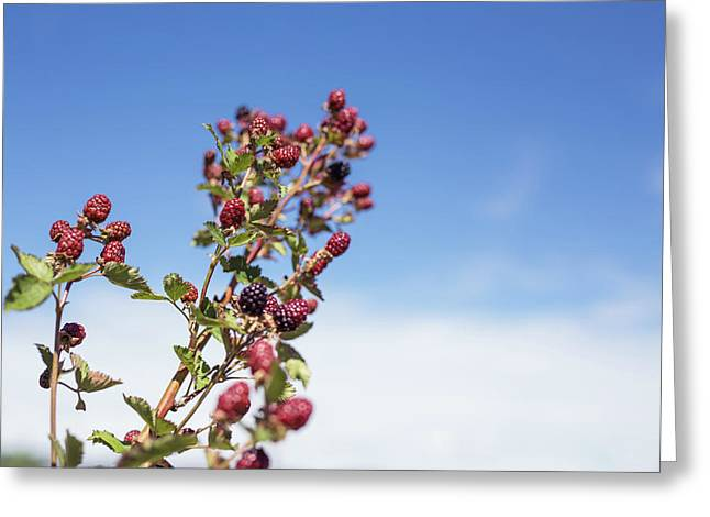 Greeting Card featuring the photograph Organic Handpicked Home Orchard Raspberries,blackberries From Bu by Jingjits Photography