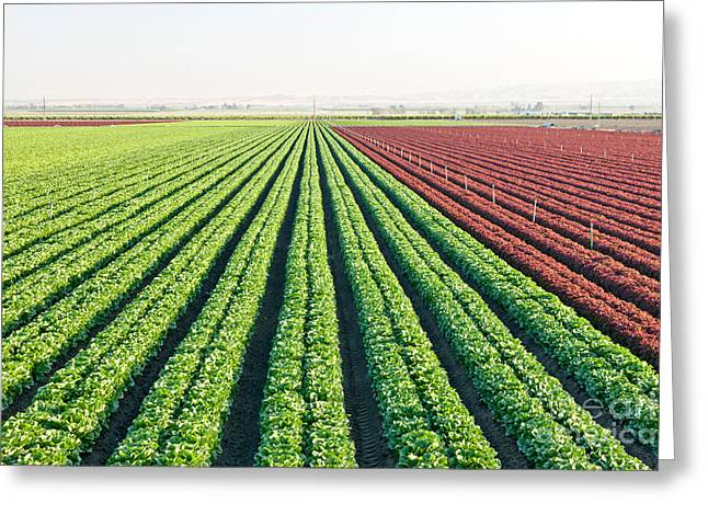 Organic Lettuces Growing Greeting Card by Inga Spence