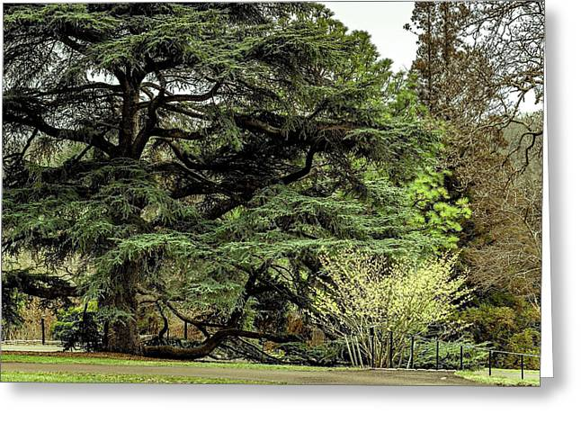 Orient Tree Greeting Card by Howard Roberts