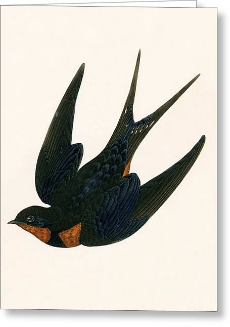 Oriental Chimney Swallow Greeting Card by English School
